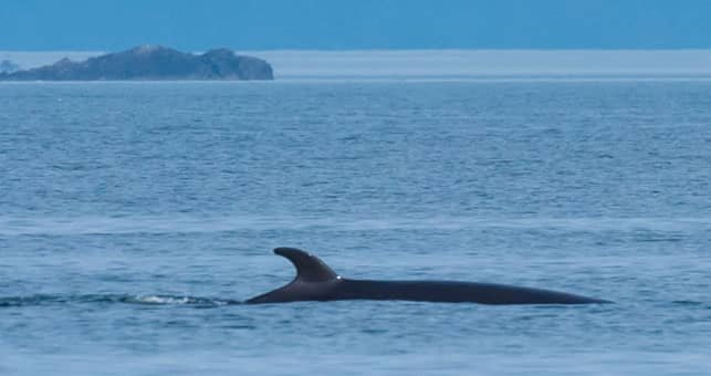 A Photo of a Minke Whale in the waters around Orcas Island