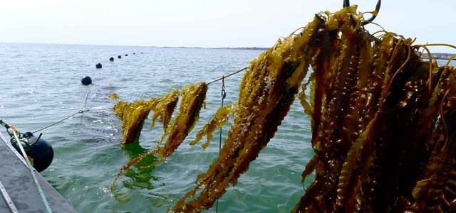 Seaweed Growing on a 3D Ocean Farm