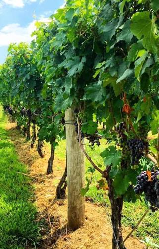 Photo of Loudoun County Vineyard