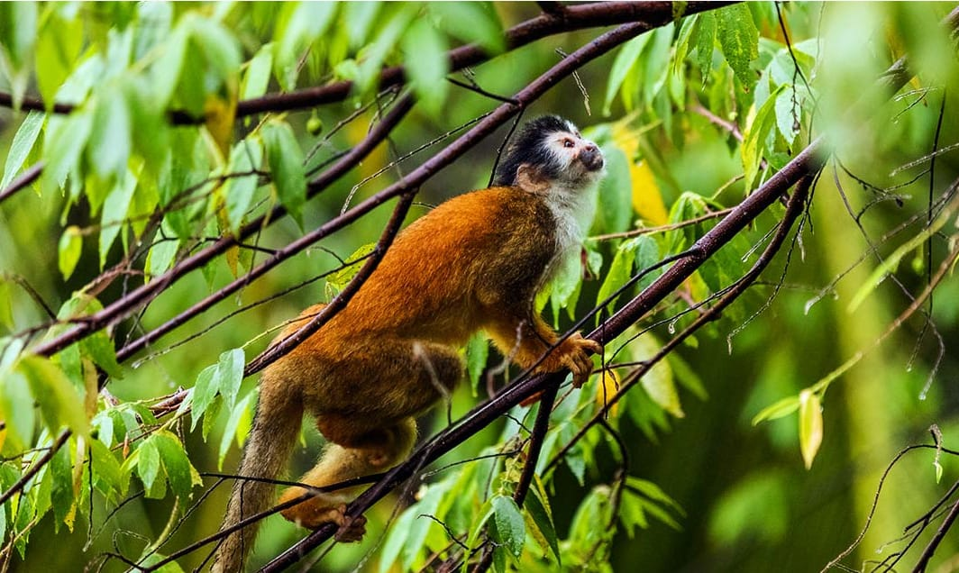 Photo of a monkey from the Lapa Rios website